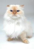 Chat blanc observé bleu Photographie stock