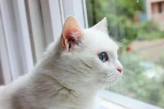 Chat blanc regardant hors de la fenêtre Photographie stock