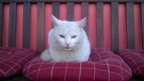 Chat blanc sérieux Photographie stock libre de droits