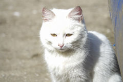 Chat blanc sans foyer Photo stock