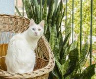 Chat blanc se reposant dans la chaise en osier photo libre de droits