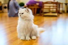 Chat blanc se reposant sur le plancher en bois Images libres de droits