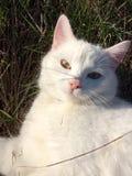 Chat blanc se trouvant sur l'herbe au soleil Photos libres de droits