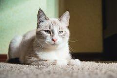 Chat blanc se trouvant sur un tapis dans une chambre et regardant tristement photographie stock