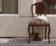 Chat blanc somnolent sur la chaise de vintage Chat tigré regardant en arrière sous la chaise Images libres de droits