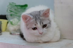 Chat blanc sur Flor Images libres de droits
