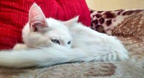 Chat blanc sur le sofa Photographie stock libre de droits