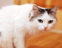 Chat blanc sur un étage Image libre de droits