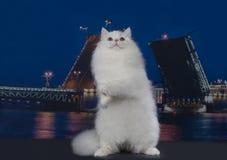 Chat blanc sur un fond d'une ville de nuit Image stock