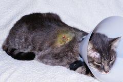 Chat blessé Photographie stock