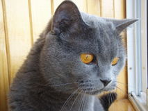 Chat bleu Britannic Images stock