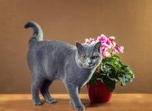Chat bleu britannique images stock