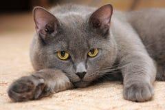 Chat bleu britannique avec les yeux jaunes Images stock