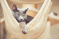 Chat bleu russe Image stock