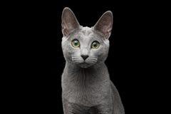 Chat bleu russe avec les yeux verts étonnants sur le fond noir d'isolement Photographie stock libre de droits