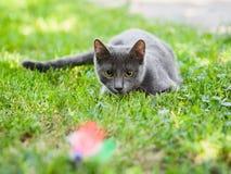 Chat bleu russe chassant dans l'herbe chassant un jouet photographie stock libre de droits
