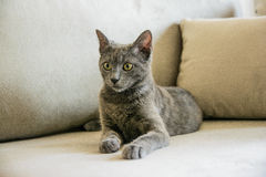 Chat bleu russe, chaton se reposant sur le sofa gris Photo libre de droits