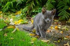 Chat bleu russe marchant par un jardin avec l'herbe, les feuilles et les fougères Photos libres de droits