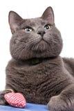 Chat bleu russe sur le panneau en bois bleu avec le coeur Image stock