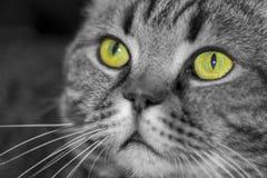 Chat Britannique-écossais en gros plan en noir et blanc avec les yeux vert jaunâtre images libres de droits