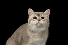 Chat britannique adorable de plan rapproché avec les yeux verts recherchant d'isolement images stock