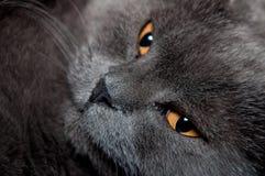 Chat britannique bleu de Shorthair Image stock