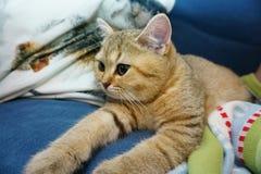 Chat britannique dans les oreillers Photo libre de droits