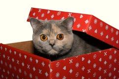 Chat britannique dans un boîte-cadeau rouge photographie stock