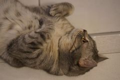 Chat britannique de minou de shorthair gris photographie stock