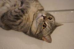 Chat britannique de minou de shorthair gris image stock