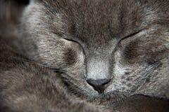 Chat britannique de Shorthair Photo libre de droits