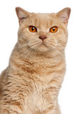 Chat britannique de Shorthair de gingembre, 1 an Images stock