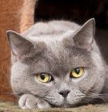 Chat britannique gris Photographie stock libre de droits