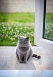 Chat britannique gris au soleil Image stock