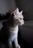 Chat britannique se tenant le premier rôle hors de la fenêtre Image stock