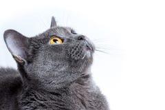 Chat britannique sur un fond blanc Photo stock