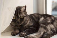 Chat britannique tigré de fumée noire sur un filon-couche de fenêtre Photo libre de droits