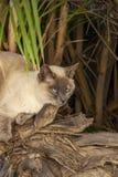 Chat brun clair avec des yeux bleus se trouvant confortablement sous un arbuste de paume près de la baie de Spinola au ` s, Malte photo stock
