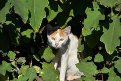 Chat caché sous des feuilles , Chat jetant un coup d'oeil par la broussaille , Image de chat d'Indain photo stock
