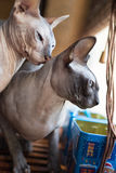 Chat canadien de sphynx Photos stock