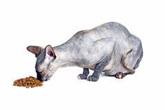 Chat canadien noir ou bleu de sphynx avec les yeux verts mangeant des aliments pour chats secs Photos libres de droits
