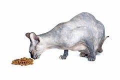 Chat canadien noir ou bleu de sphynx avec les yeux verts mangeant des aliments pour chats secs Images stock