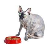 Chat canadien noir ou bleu de sphynx avec les yeux verts mangeant des aliments pour chats secs Photographie stock