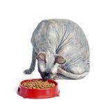 Chat canadien noir ou bleu de sphynx avec les yeux verts mangeant des aliments pour chats secs Photographie stock libre de droits
