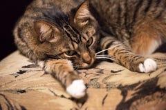 Chat, chat de repos sur un sofa à l'arrière-plan de tache floue Photos libres de droits
