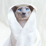Chat chauve en essuie-main Images stock