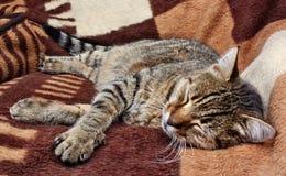 Chat confortablement de sommeil Photos stock