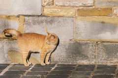 Chat contre le mur Images stock