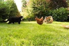 Chat contre un poulet Image stock