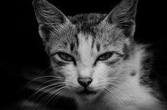 Chat curieux noir et blanc Photo stock